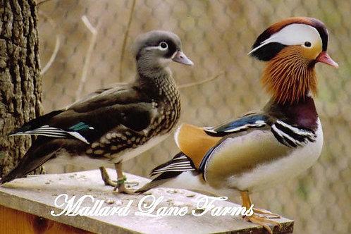 Mandarin Pair Split white male with normal hen