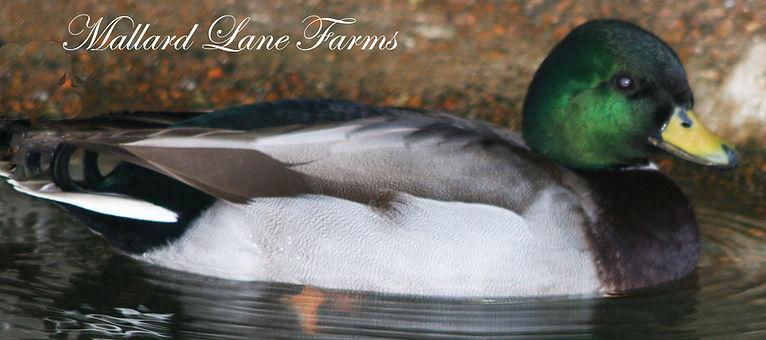 gray call duck