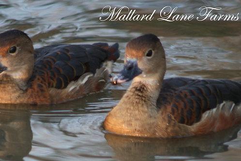 1 Javen Tree Duck male