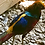 Thumbnail: Dark Throat Golden Pheasant (full colored)