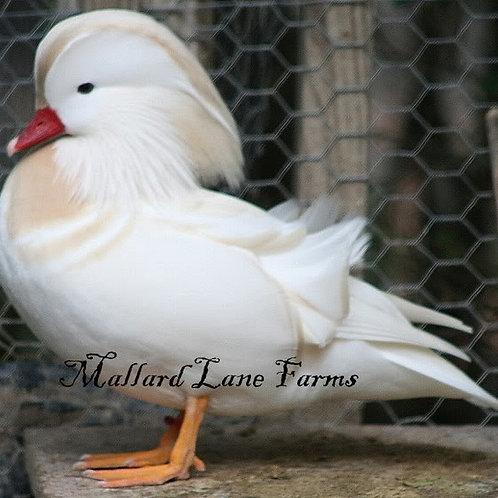 1 White Mandarin male