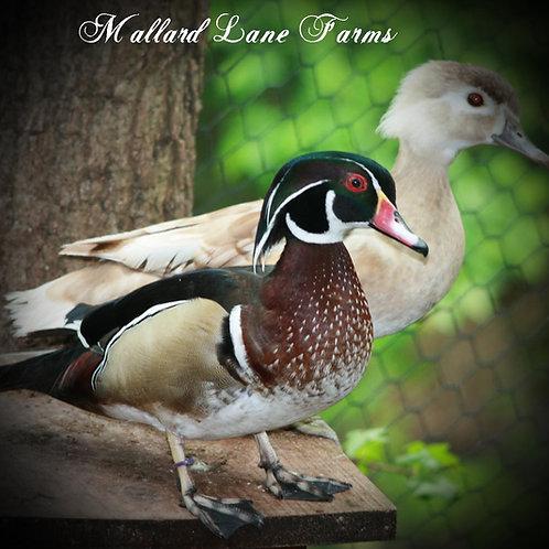 Wood Duck Pair Regular male apricot hen