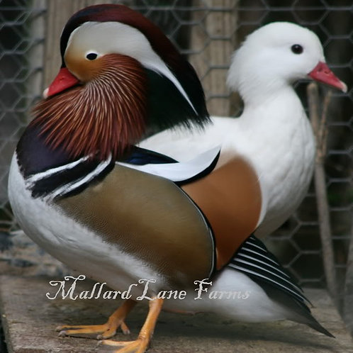 Mandarin Pair  Split/White male with White hen