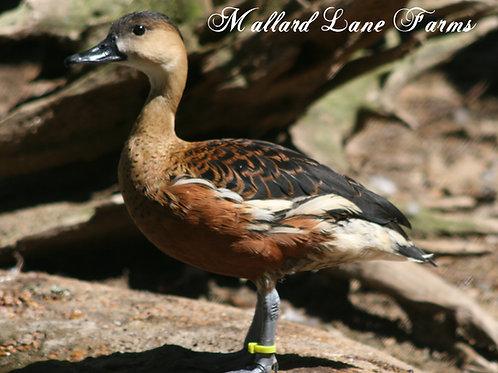 Wandering Tree Duck pair