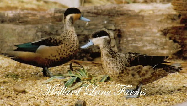 Hottentot Teal pair