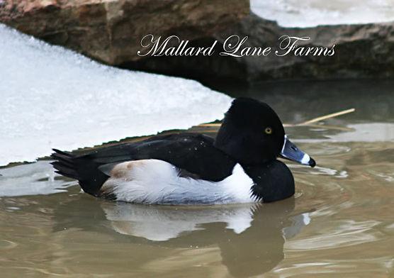 ring billed duck
