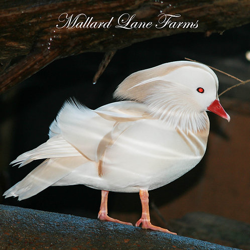 White Mandarin Pair