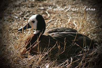 white faced tree duck
