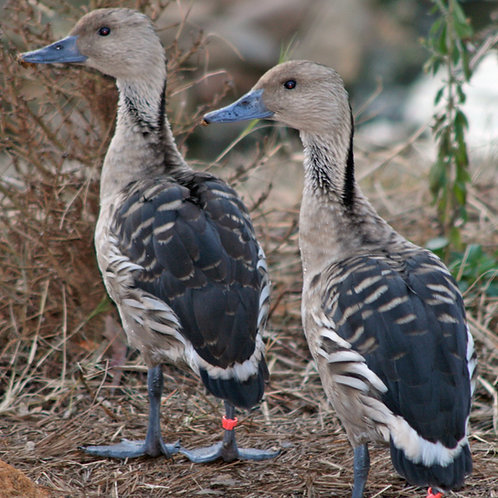 Silver Fulvous Tree Duck pair