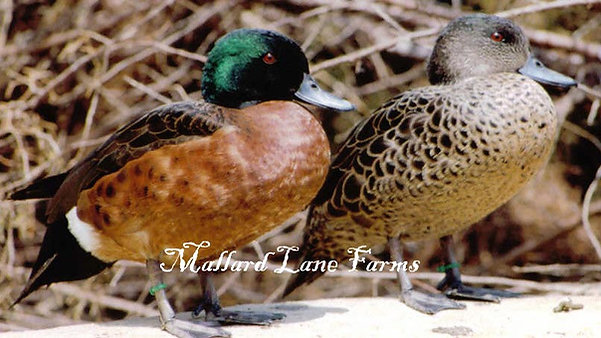 Chestnut Breasted Teal pair