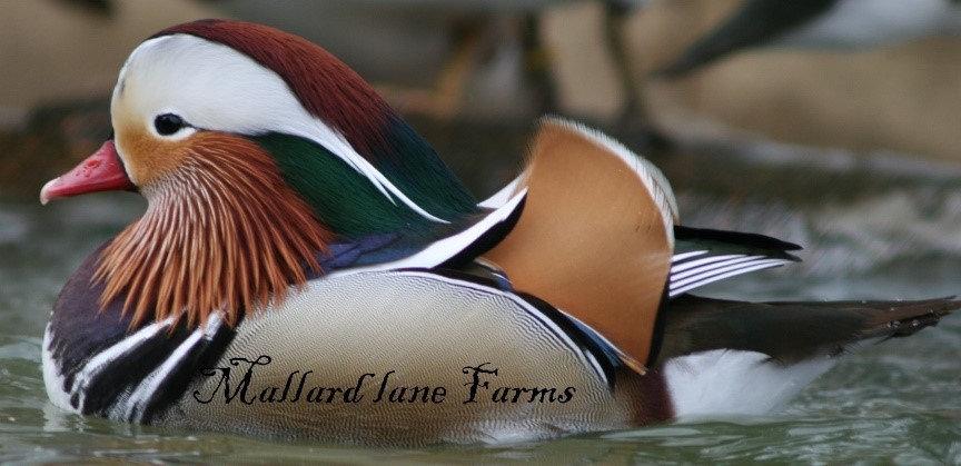 Mallard Lane Farms  selling ducks, swans, pheasants and moe