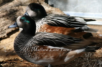 Chiloe Widgeon