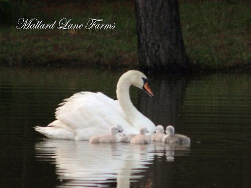 Mute Swans  Breeder age