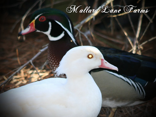 Wood Duck pair  Split/White male with White hen