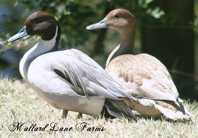 Bliue Northern Pintail