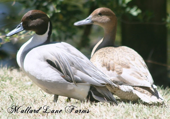 Blue Northern Pintail Pair