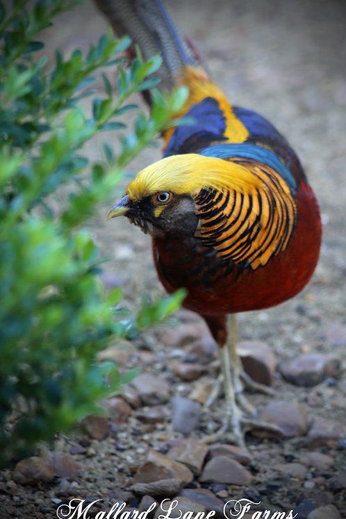 Dark Throat Golden Pheasant (full colored)