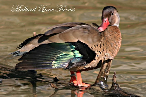 Brazilian Teal male only