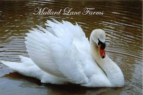 Mute Swan same sex pair