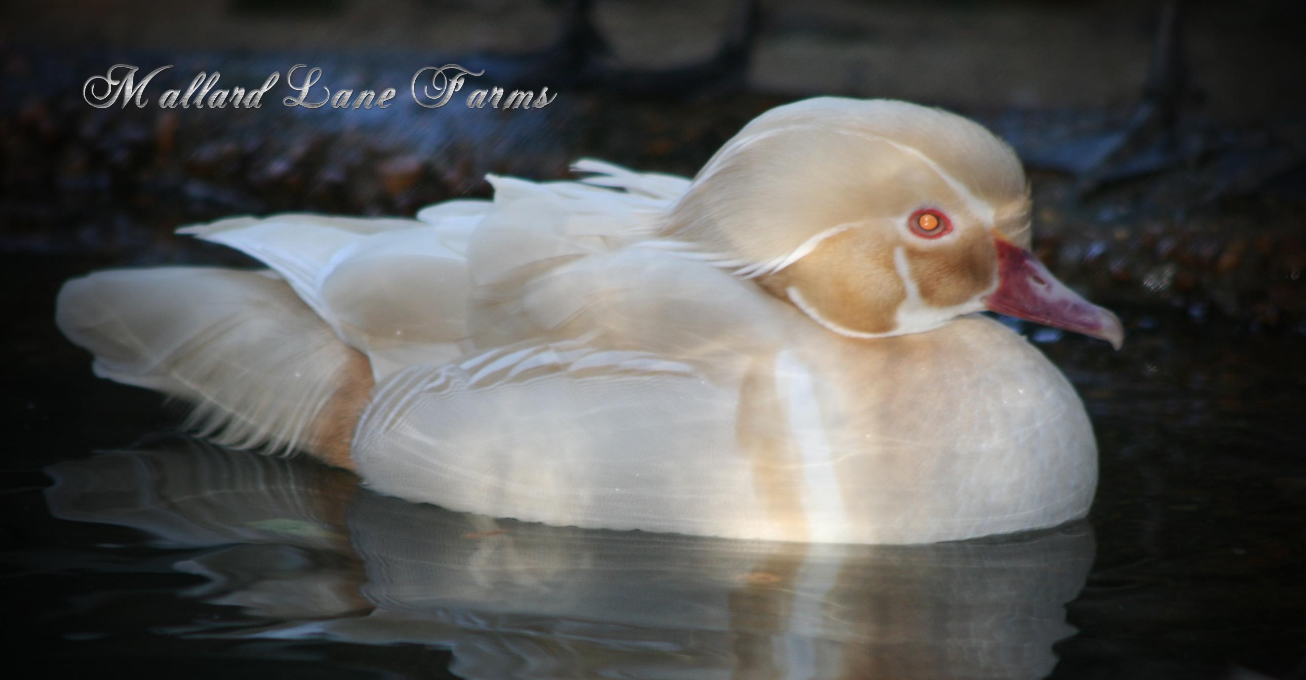 white wood duck drake-1