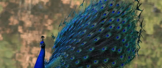 Indian Blue peafowl (young pair)