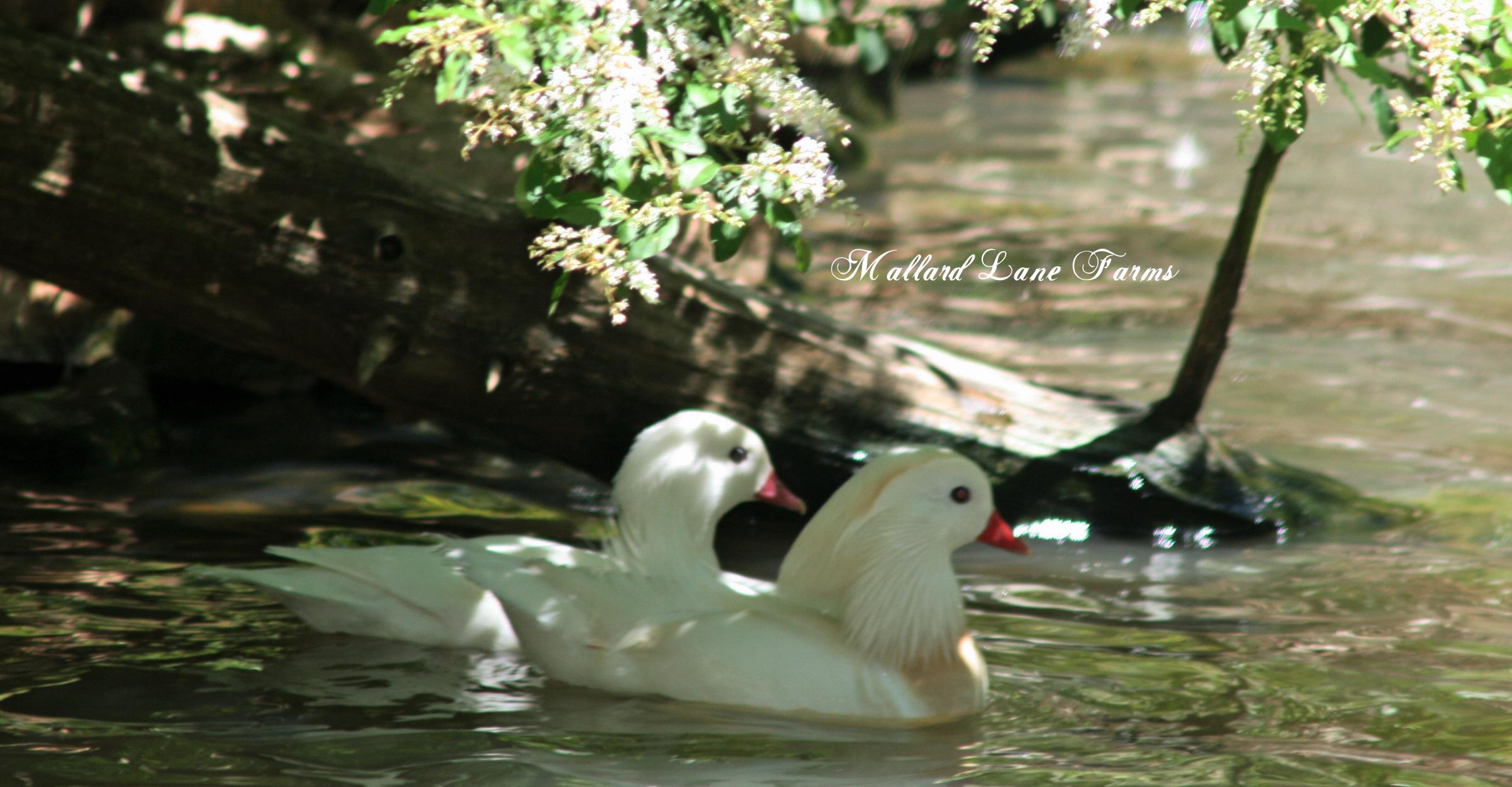 white mandarin pair-1