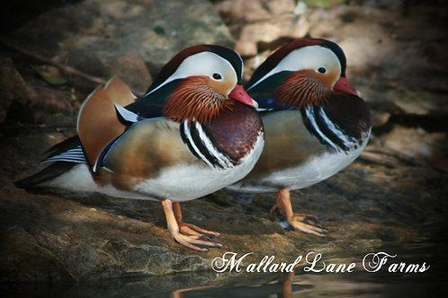 2 Mandarin males
