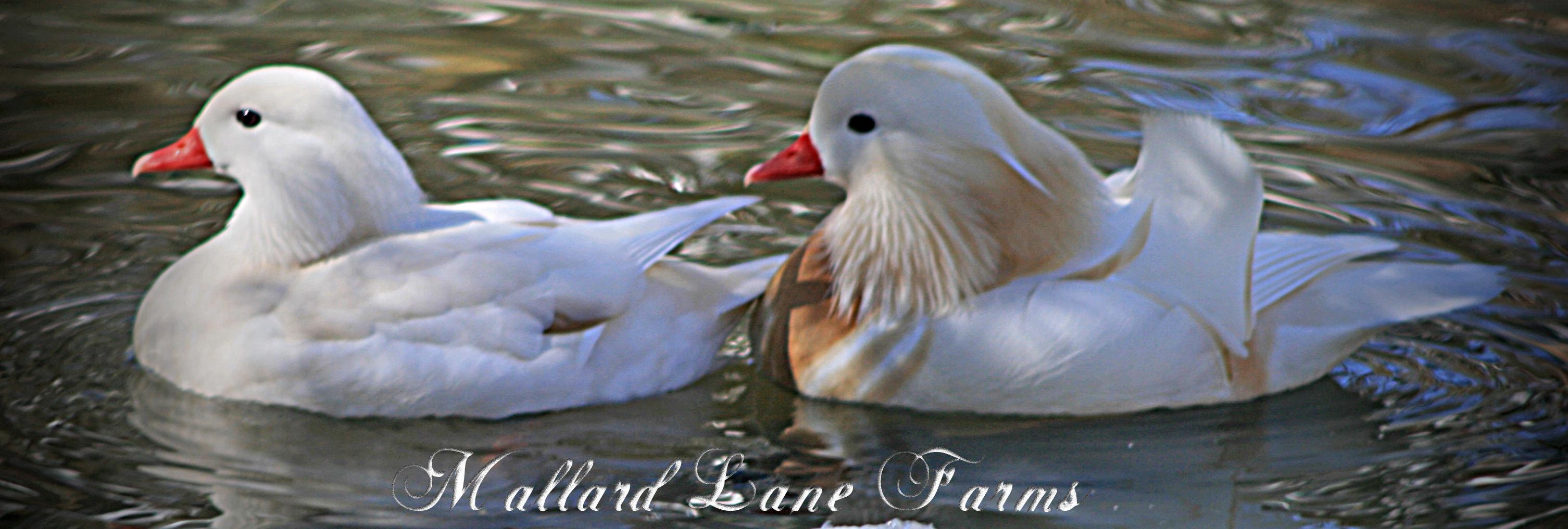 white mandarin pair-1-1