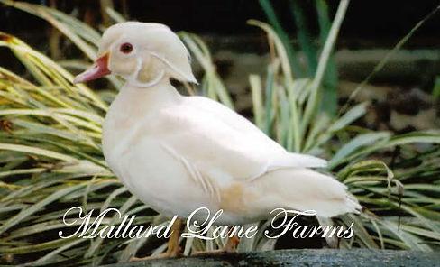 White Wood Duck