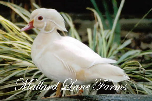White Wood Duck Pair