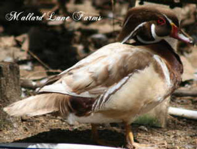 Apricot Wood Duck