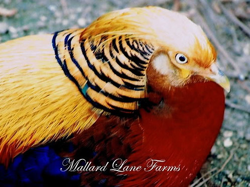 Red Golden Pheasant (full colored)