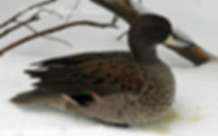 sharpwing teal