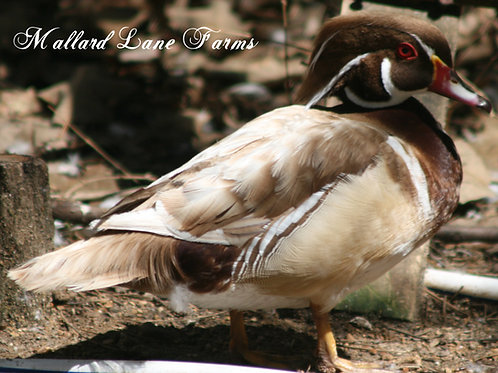 Apricot Wood Duck Pair