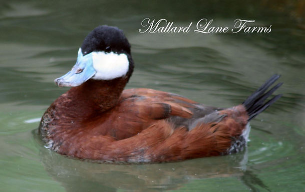 North American Ruddy duck
