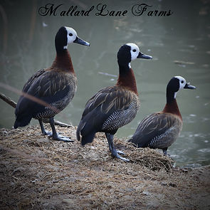 whitefaced tree ducks