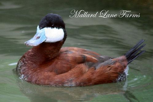 North American Ruddy Duck pair