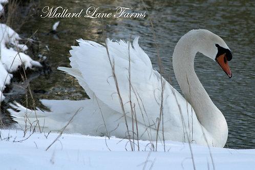 Mute Swan pair 2019 hatch