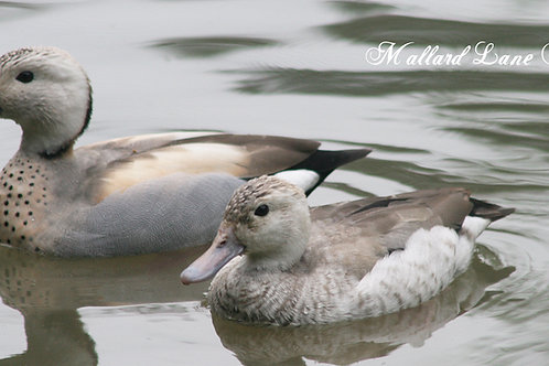 Silver Ring Teal pair