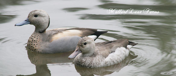 silver ring teal