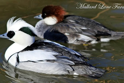 1 Smew  female