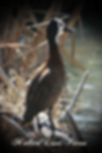 whitefaced tree duck