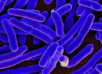 E. coli Bacteria by NIAID
