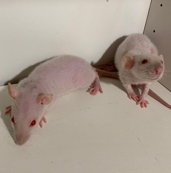 Recessive double Rex Siamese