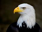 aigle.png