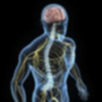 illustratie_zenuwstelsel_torso.jpg