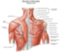 Muscles Of Shoulder.jpg