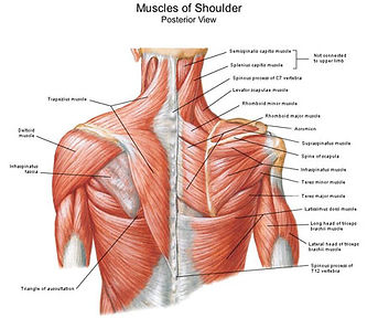 Muscles Of Shoulder.jpg