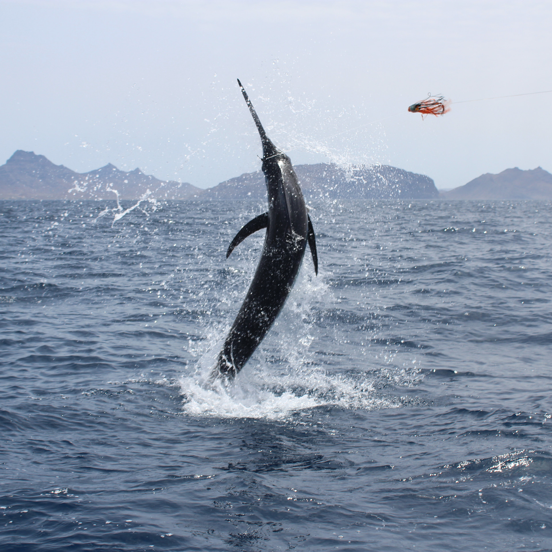 Atlantic Blue Marlin ca. 250kg