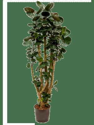 Aralia fabian